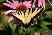 30th Jul 2014 - Swallowtail Surprise