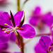 Fireweed close up by elisasaeter