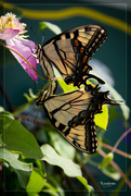 1st Aug 2014 - Butterfly Love