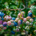 Fairwell to blueberry season by joansmor