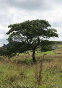 2nd Aug 2014 - Ramshaw Tree in August