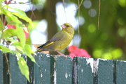 2nd Aug 2014 - 2014 08 02 - Green Finch