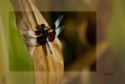2nd Aug 2014 - I Spy a Dragonfly