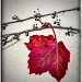 Red Vine by aikiuser