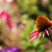 one cone flower by nanderson