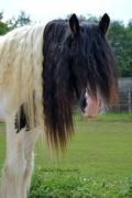1st Aug 2014 - Hairy horse