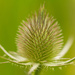 2014 08 01- Thistle by pixiemac