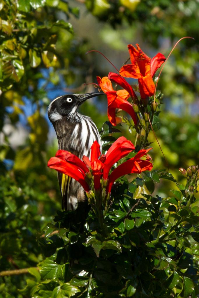 Nectar for honeyeater by gosia