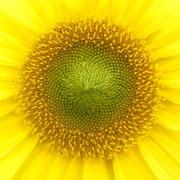 5th Aug 2014 - Golden Spiral