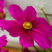 Pink flower by elisasaeter
