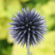 2nd Aug 2014 - Spiky blue