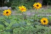 20th Jul 2014 - Four Pretty Flowers in a Row