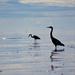 Herons by kwind