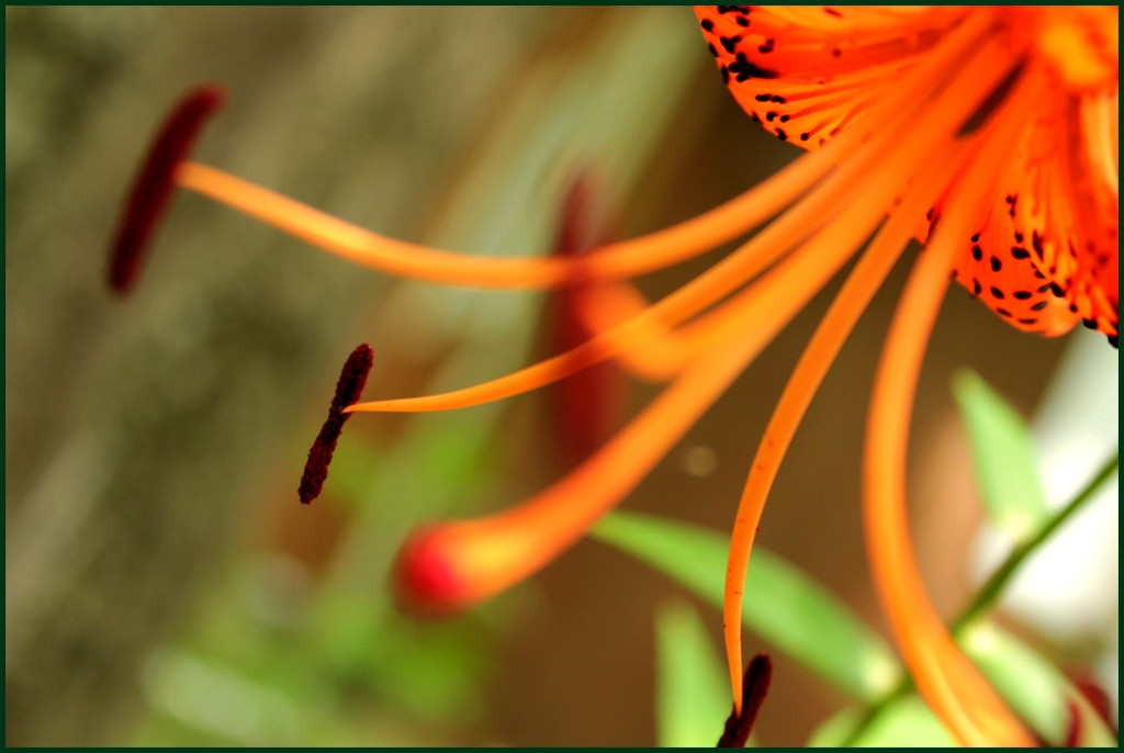 Tiger Lily (New Camera Day 6) by olivetreeann