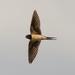 Swallow - 6-08 by barrowlane