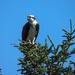 Mother Osprey by Weezilou