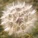Pretty Puffy Weed Natural by jyokota