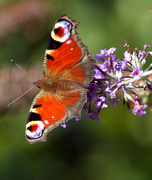 9th Aug 2014 - flutterby