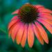 """Echinacea """"Cheyenne Spirit"""" by kathyladley"""