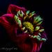 Coloured Dahlia by tonygig