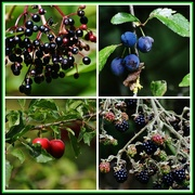10th Aug 2014 - Fruits of the forest