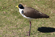 11th Aug 2014 - Spur Winged Plover