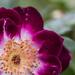 Tree Rose