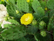 24th Jun 2014 - Cactus flower