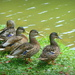 Four Female Mallards