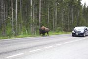 29th Jul 2014 - Buffalo have right of way!!