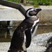At The Zoo - Penguin