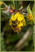 13th Aug 2014 - Bee and yellow flower