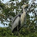 The Grey Heron by snoopybooboo