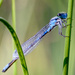 Beaver Island Dragonfly:  Yet Another One by jyokota