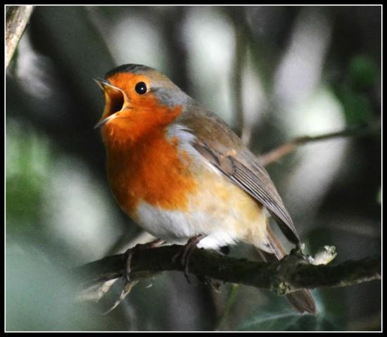Sing robin sing by rosiekind