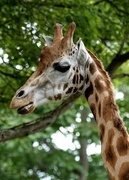 8th Aug 2014 - You're having a Giraffe!