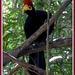 At The Zoo - Bird (Lady Ross's Turaco)