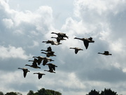 24th Jun 2013 - Canada Geese in flight