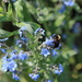A bee on blue flowers