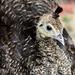 Peacock 5 weeks old by kathyladley