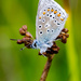 Common blue butterfly - 16-08 by barrowlane