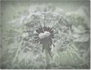 16th Aug 2014 - Dandelion Seed Head