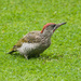 Green woodpecker - 17-08 by barrowlane