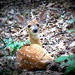 Fawn . . . Interrupted by juliedduncan