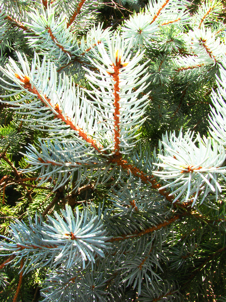 Evergreen Branches by april16