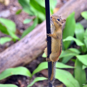 17th Aug 2014 - Pole Dancing Chipmunk