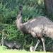 Old mum emu! by gilbertwood