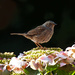 18th August 2014 - Dunnock by pamknowler