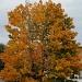 Fall tree by dora