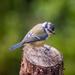 Blue tit - 19-08 by barrowlane